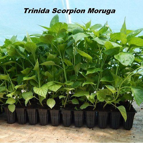 Trinidad Scorpion Moruga chili palánta