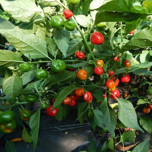 Ecuadoria sweet chili paprika palánta